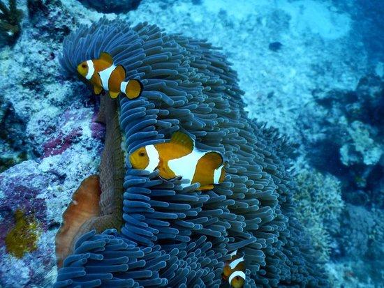 Hoga Island, อินโดนีเซีย: Diving Anemone Fish (Nemo)