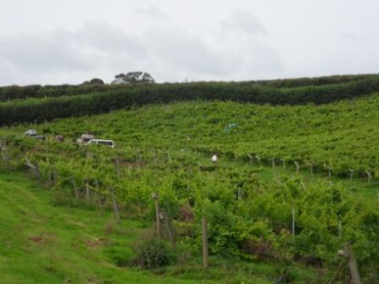 Newent, UK: The grape harvest has started.
