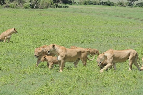East Africa Adventure Tours and Safaris - Day Tours : Pride to behold
