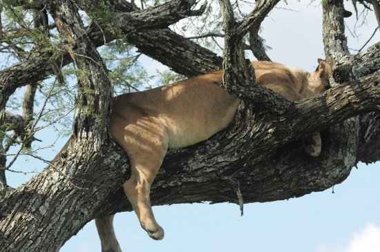East Africa Adventure Tours and Safaris - Day Tours : Tree climbing lion