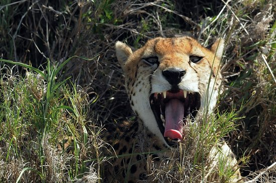 East Africa Adventure Tours and Safaris - Day Tours : Cheeta greets me with a toothy smile