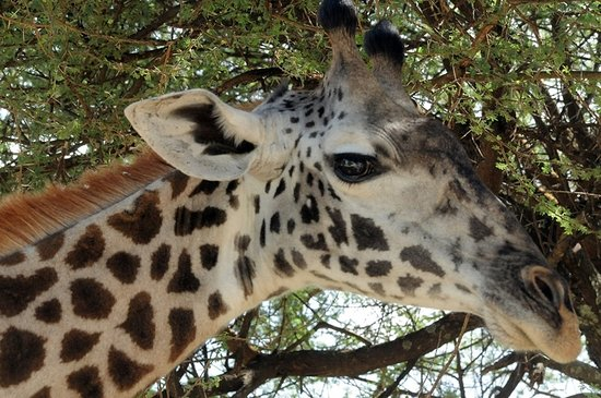 East Africa Adventure Tours and Safaris - Day Tours : Giraffe with on eye on us