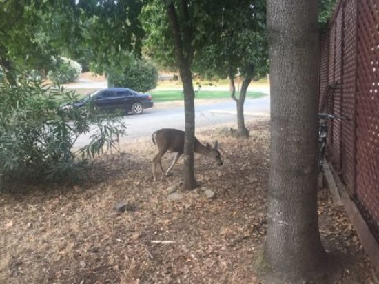 Los Gatos, CA: The deer are right outside my cabin!
