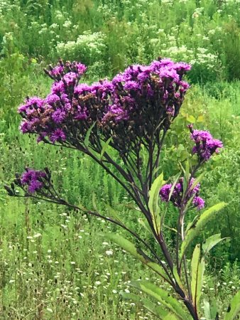 เมดีนา, โอไฮโอ: ironweed