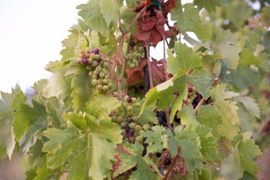 Three Sleeps Vineyard B & B: The vineyard at Three Sleeps