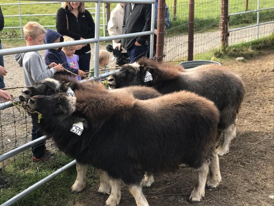 Musk Ox Farm: photo1.jpg