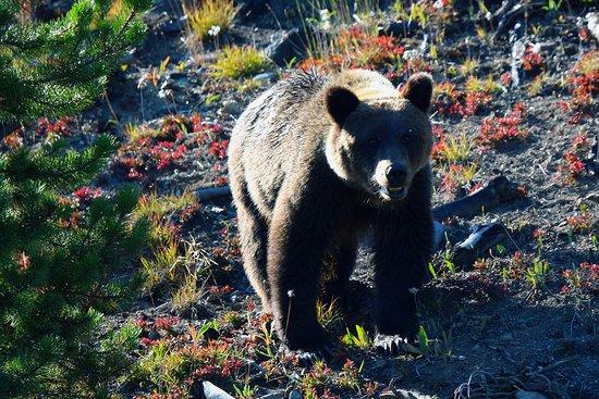 Bella Coola, Canada: Grizzly Bear