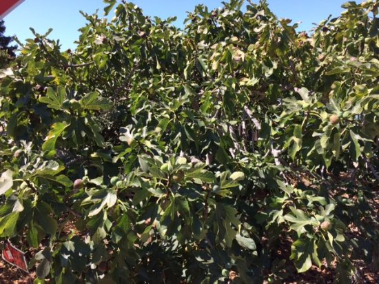 Palo Alto, CA: What a great sight viewing the yummy ripe fruit laden fig tree!