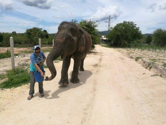 ท่ายาง, ไทย: Walking and feeding the elephant