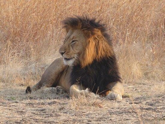 Ladysmith, Sudafrica: One of the lions