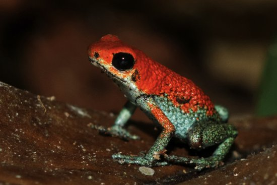 poison dart frog drake bay