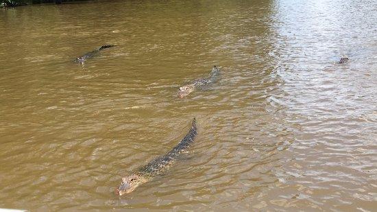Slidell, LA: a few alligators