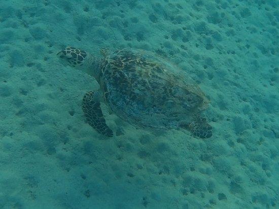 Gemma Resort: tartaruga vista nella barriera corallina davanti al resort
