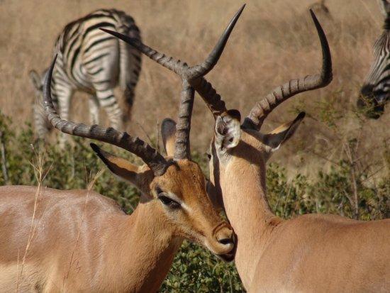 Pilanesberg National Park, Sør-Afrika: Impala and Zebra