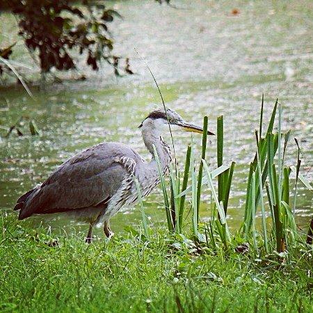 Aberlady, UK: Gosford Park Heron