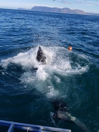 African Shark Eco-Charters: Great White out wits the crew and hits the bait!