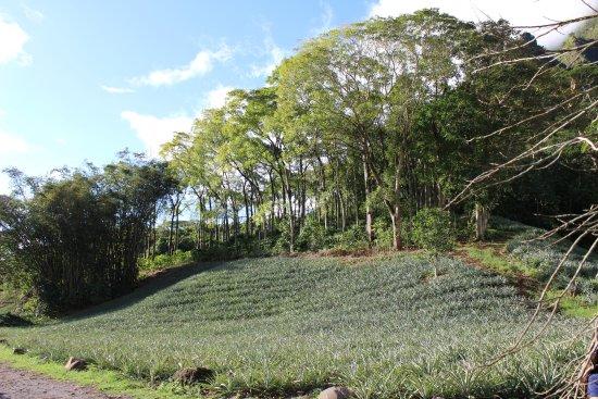 Papetoai, Polinesia Prancis: champs d'ananas