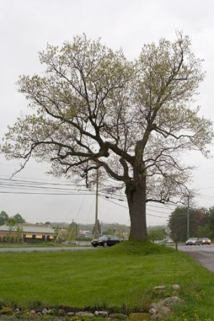 Victor, NY: Seriously old Oak Tree. In 1935 it was thought to be about 200 yrs. old