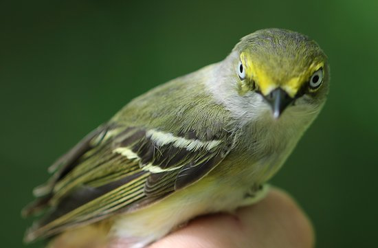 Connersville, IN: White-eyed Vireo