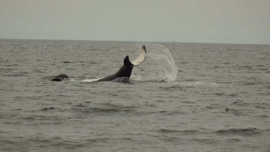 Cowichan Bay, Canadá: A tail-slapping orca