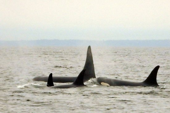 Cowichan Bay, Canadá: Close-knit orca family