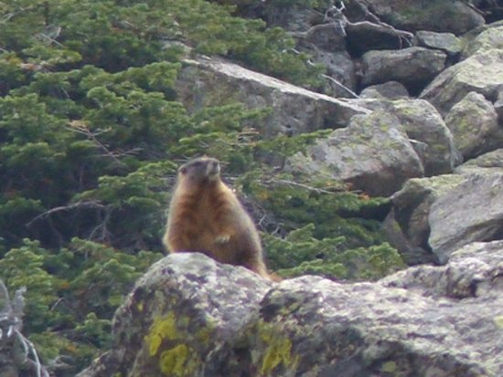 Aspenglen Campground: Yellow Bellied Marmot