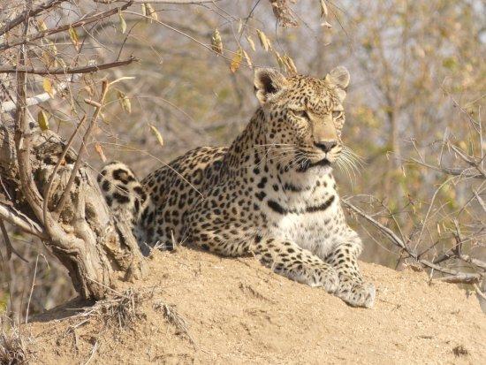 Kambaku Safari Lodge : safari