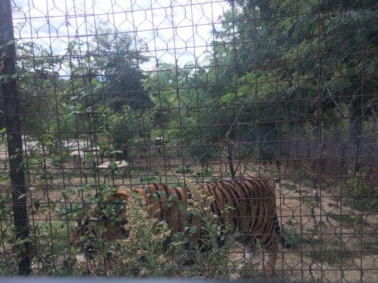 Murazzano, إيطاليا: tigre