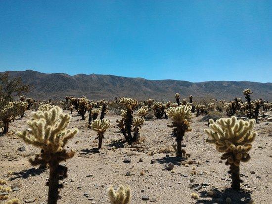 Twentynine Palms, كاليفورنيا: Cholla cactus