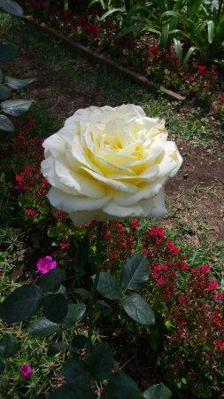 Bella rosa en Antigua Guatemala