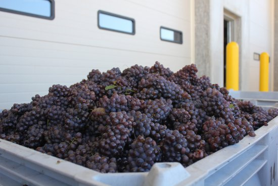 Benton Harbor, MI: Pinot Grigio grapes harvested by hand.