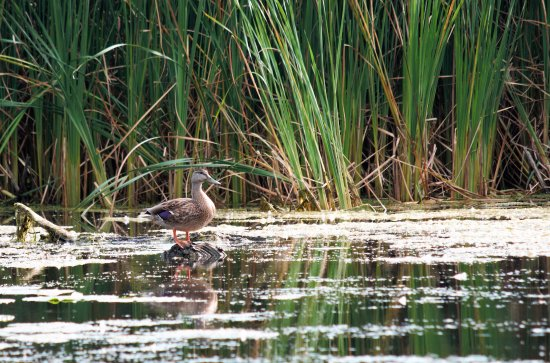 Bowmanville Harbour Conservation Area: duck