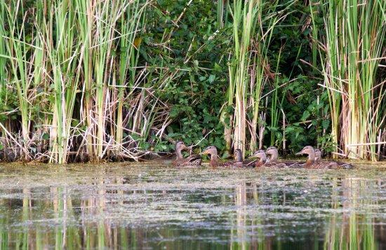 Bowmanville Harbour Conservation Area: ducks