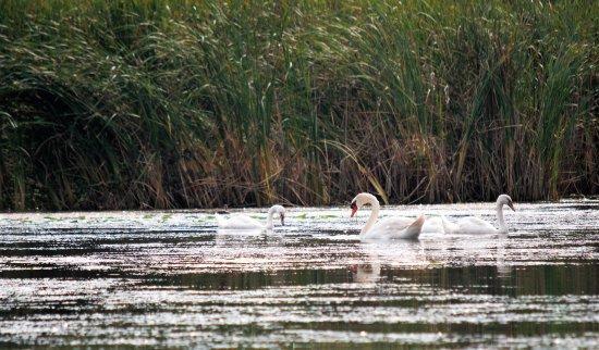 Bowmanville Harbour Conservation Area: swans