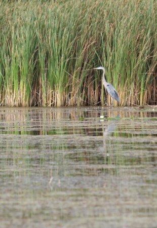 Bowmanville Harbour Conservation Area: heron