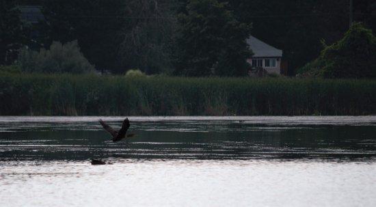 Bowmanville, Kanada: cormorant