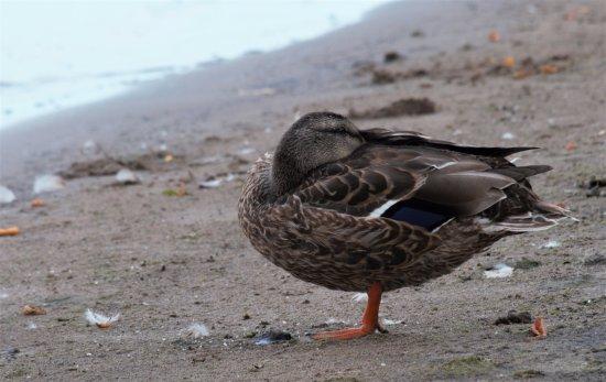 Bowmanville, Canada: duck