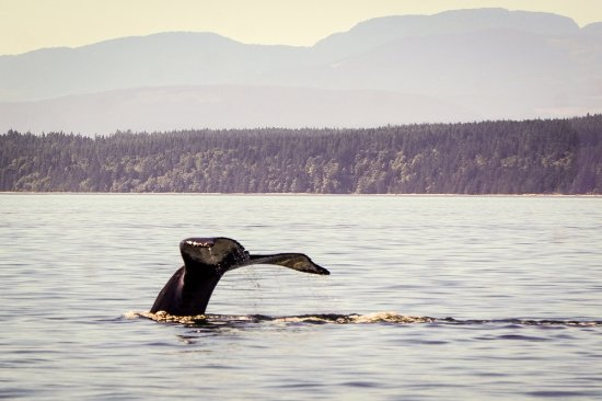Mansons Landing, Kanada: Humpback whale