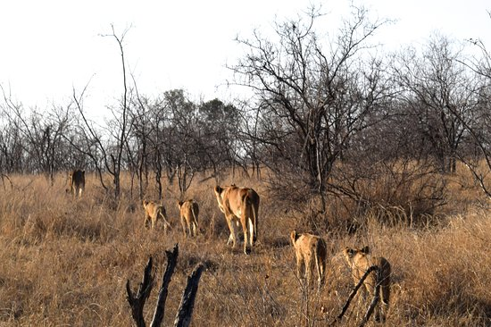Timbavati Private Nature Reserve, แอฟริกาใต้: Lion cubs and mama heading out for a hunt!