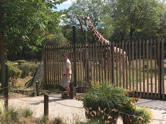 Brookfield, IL: giraffe
