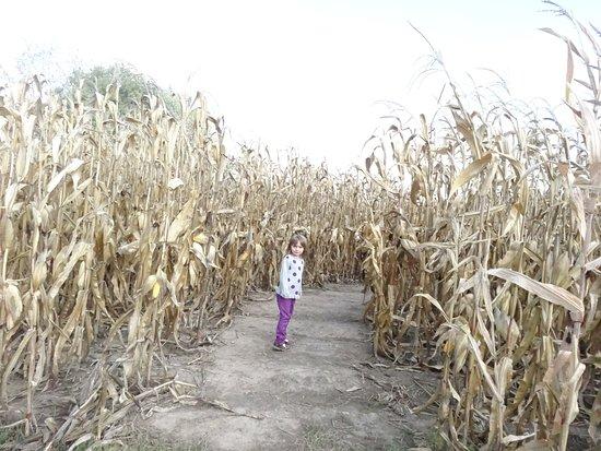 Chatham, IL: Corn maze