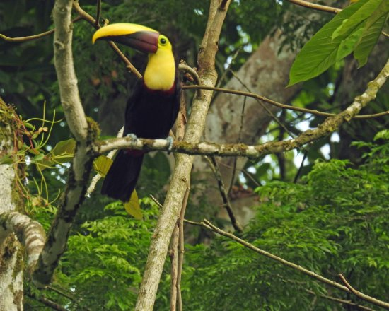 Sarapiqui, Costa Rica: Chestnut mandibled toucan