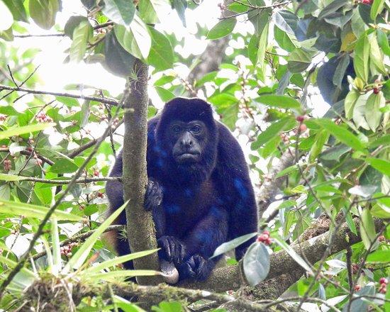 Sarapiqui, Costa Rica: Howler monkey