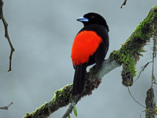 Sarapiqui, Costa Rica: Scarlet rumped tanager