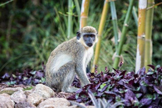 Nevis: Green Vervet Monkey