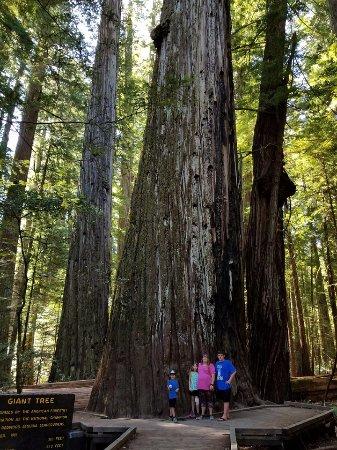 Weott, CA: huge trees