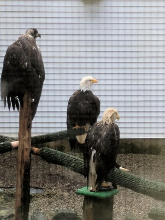Alaska Raptor Center: some of the raptors that will be stay.