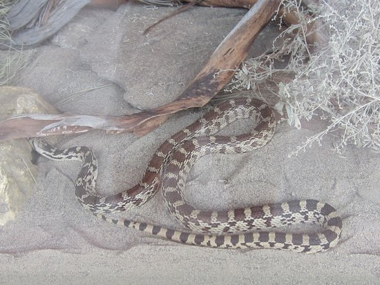 Nk'Mip Desert Cultural Centre: A live snake exhibit - behind glass.