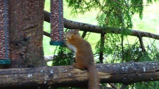 Aviemore, UK: eekhoorntjes bekijken
