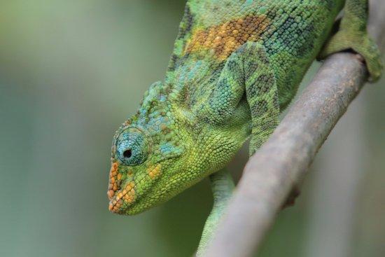 Kisoro, Uganda: Chameleon in nearby reptiles park